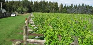 Christchurch vineyard